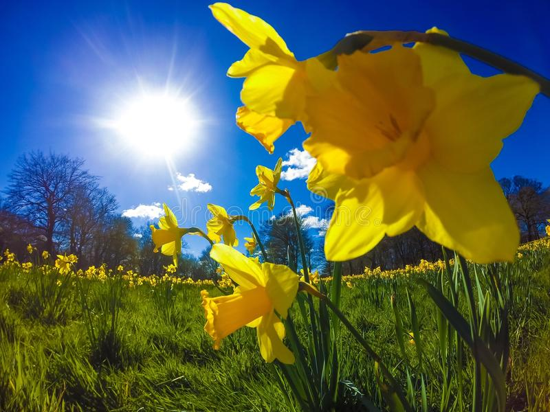 Daffodils At The Park...x royalty free stock photos
