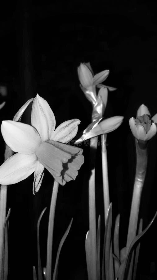 Daffodils - piękny przypomnienie pobliska wiosna Pekin, china zdjęcia royalty free