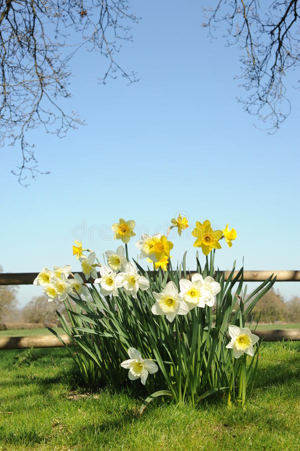 Daffodils In Spring Stock Photos