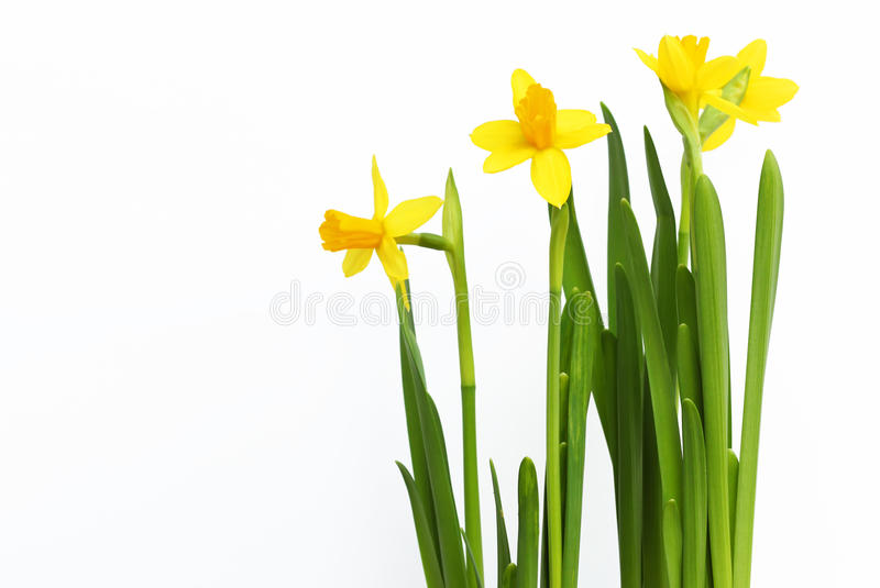 Daffodils. Spring cute photo with yellow daffodils stock images