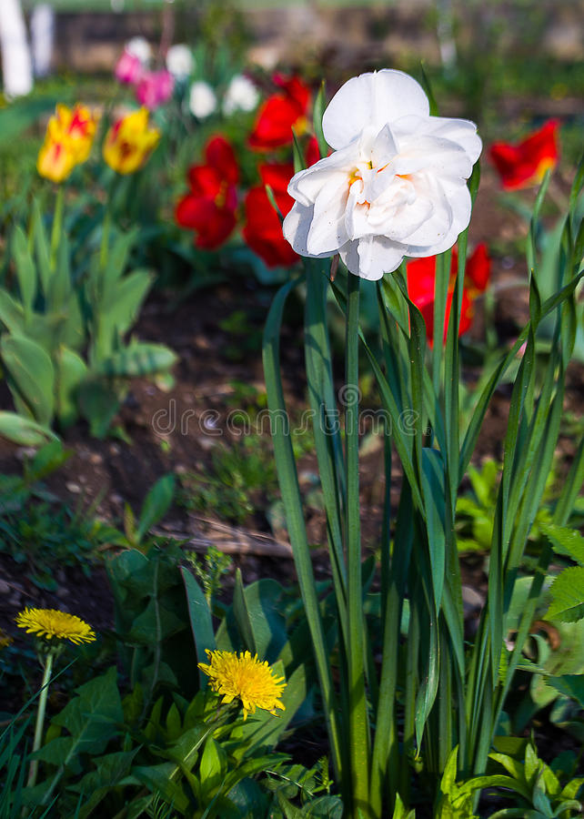 Daffodils spring flowers royalty free stock images