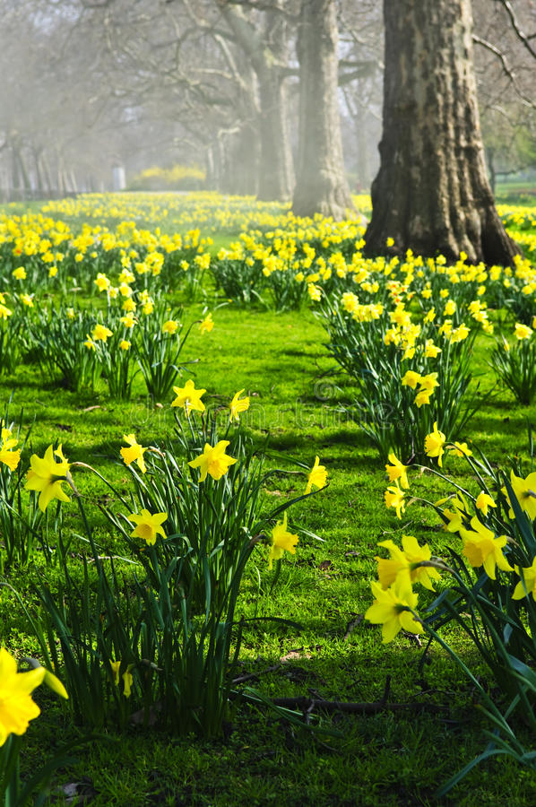 Daffodils in St. James's Park stock images