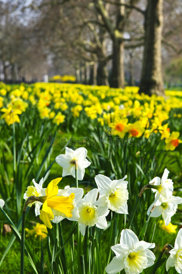 Daffodils in St. James's Park stock photos