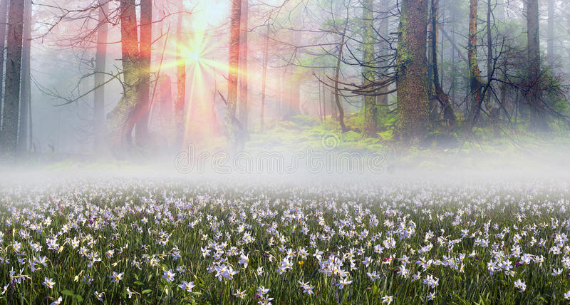 Daffodils at sunrise. Among the background of mountains and river valleys in the spring grow beautiful wild flowers- daffodils. They are especially beautiful and royalty free stock photos
