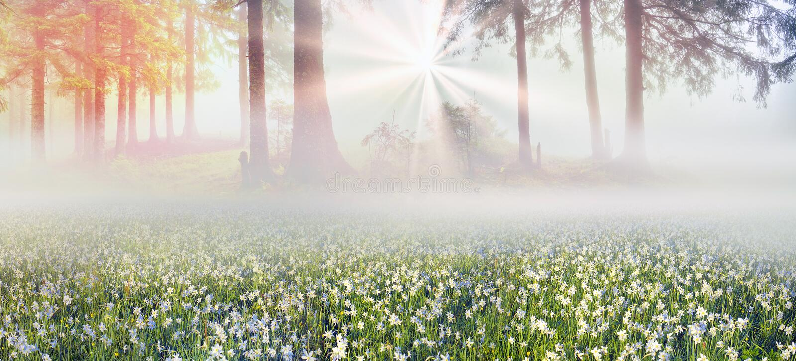 Daffodils at sunrise. Among the background of mountains and river valleys in the spring grow beautiful wild flowers- daffodils. They are especially beautiful and royalty free stock image
