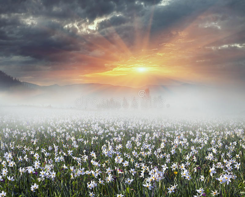 Daffodils at sunrise. Among the background of mountains and river valleys in the spring grow beautiful wild flowers- daffodils. They are especially beautiful and stock photos