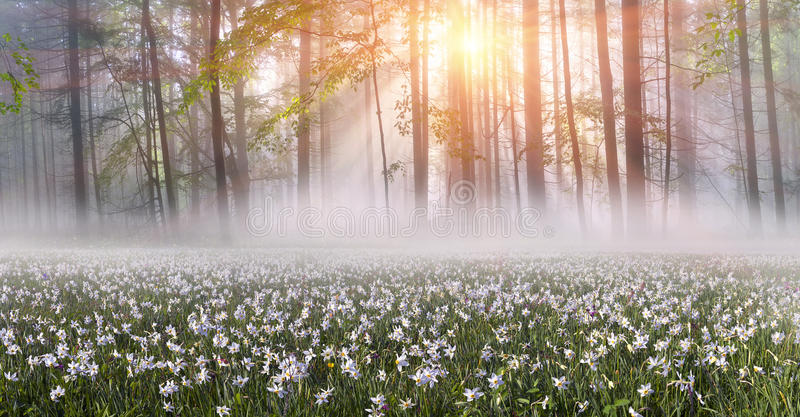 Daffodils at sunrise. Among the background of mountains and river valleys in the spring grow beautiful wild flowers- daffodils. They are especially beautiful and stock image