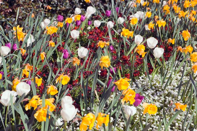 Daffodils and Tulips in a flower bed stock photography