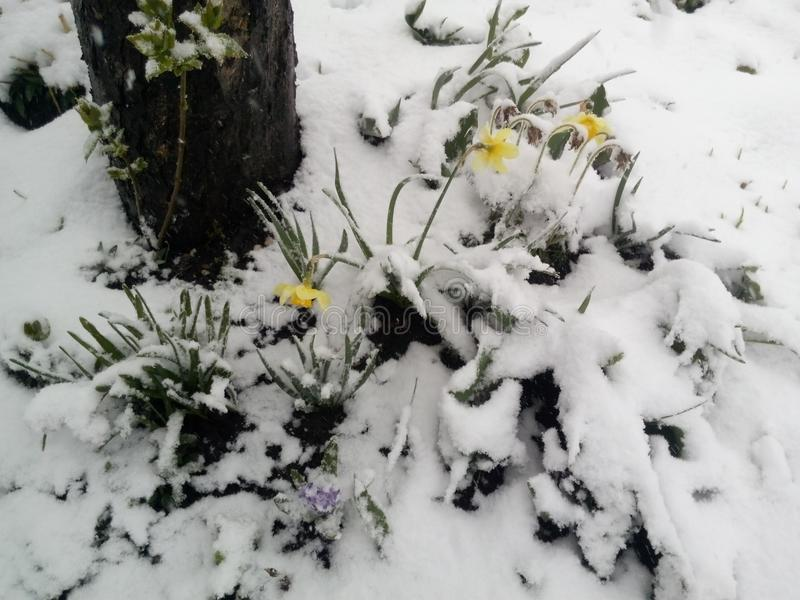 Daffodils under the snow royalty free stock image