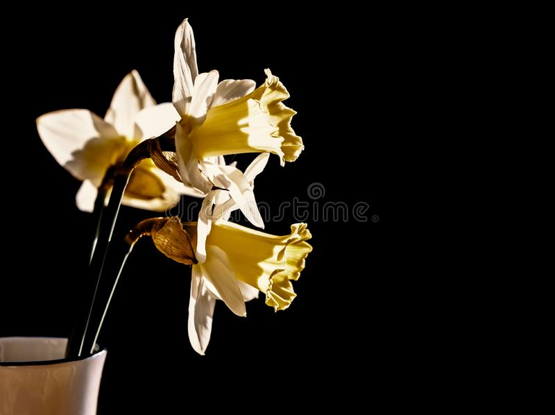 Daffodils flowers. Daffodils in a vase on a dark background with copy space royalty free stock photo