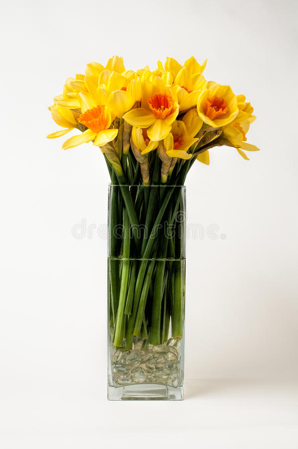 Daffodils in a vase. Daffodils in a square shaped vase on a white background stock image