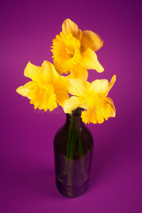 Daffodils in vase. Three yellow daffodils or narcissus in green vase are on purple or pink background royalty free stock photo