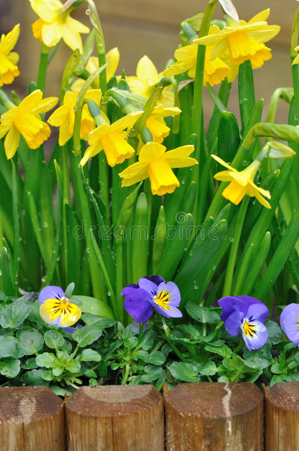 Daffodils and viola. Bordering in a garden royalty free stock image