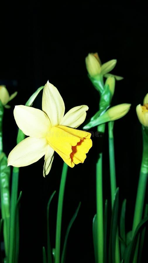 Daffodils w bukiecie kwitnęli w opóźnionej zimie zdjęcie stock