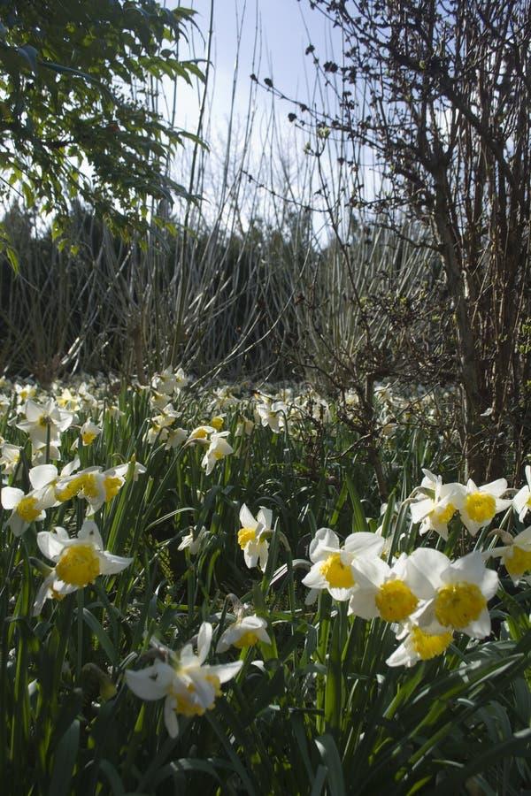 Daffodils w polu obraz royalty free