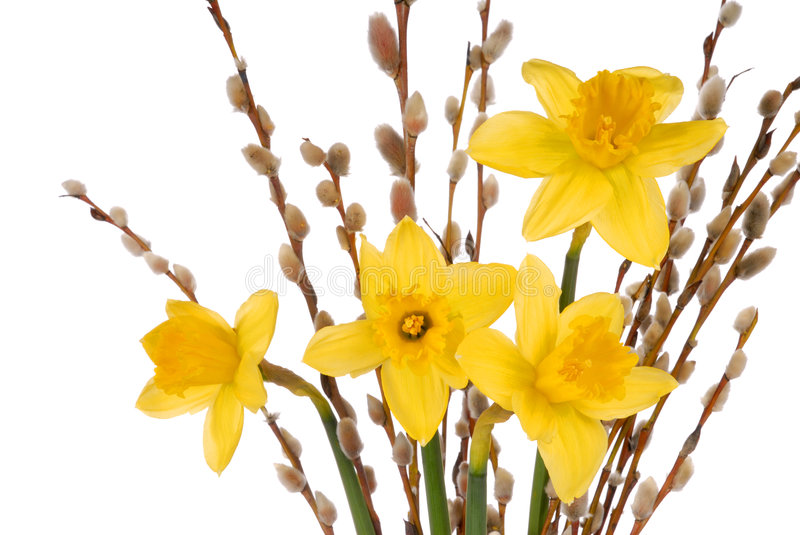 Daffodils on White. Macro of daffodils isolated on white background royalty free stock photo