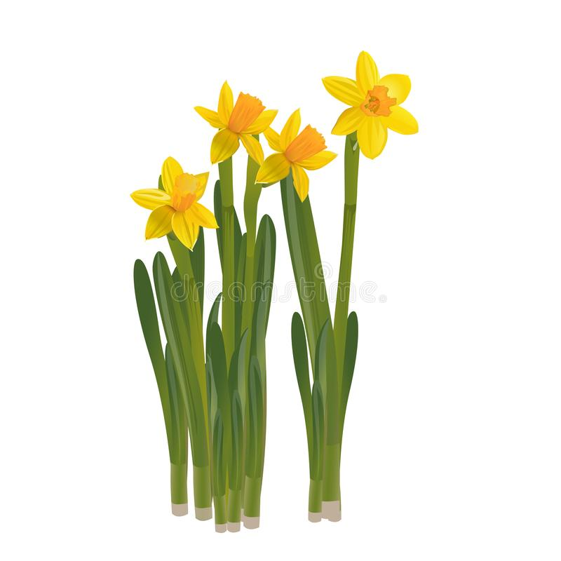 Daffodils on a white background. Vector illustration. royalty free illustration
