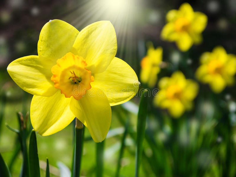 Daffodils. Yellow daffodils on a meadow and sunshine royalty free stock photo