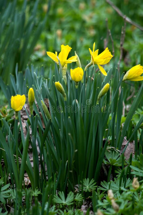 Daffodis primaverales que crecen silvestres foto de archivo
