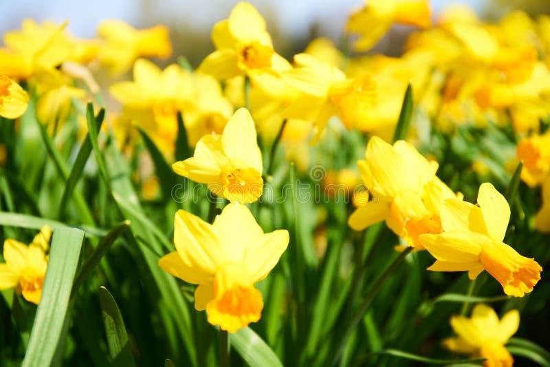 Dafodils selvaggi in fiore immagini stock libere da diritti