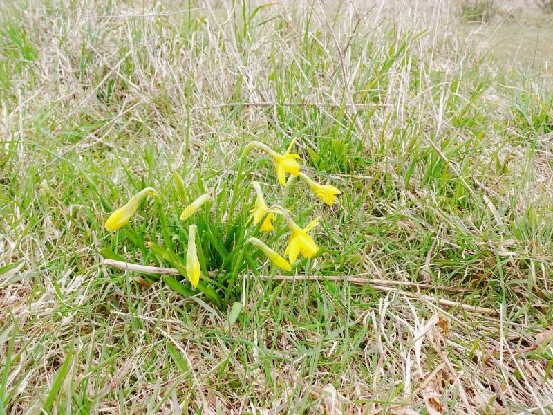 Dafodils su un fondo di erba 1 fotografia stock
