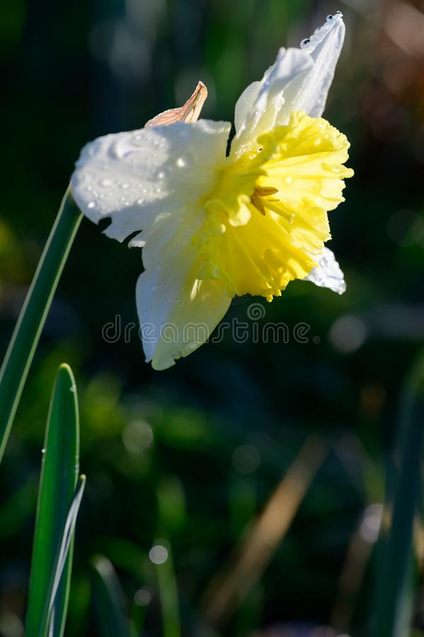Dafodls blooming in  early morning dew. Dafodls blooming in early morning dew stock photography