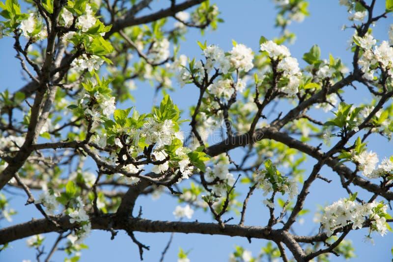 Dag för blomningplommonvår i trädgården arkivbilder