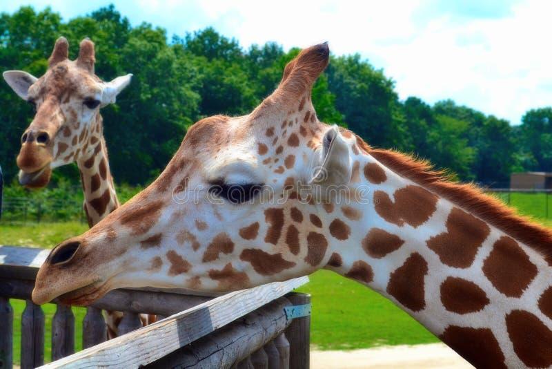 Dag på safari royaltyfria foton
