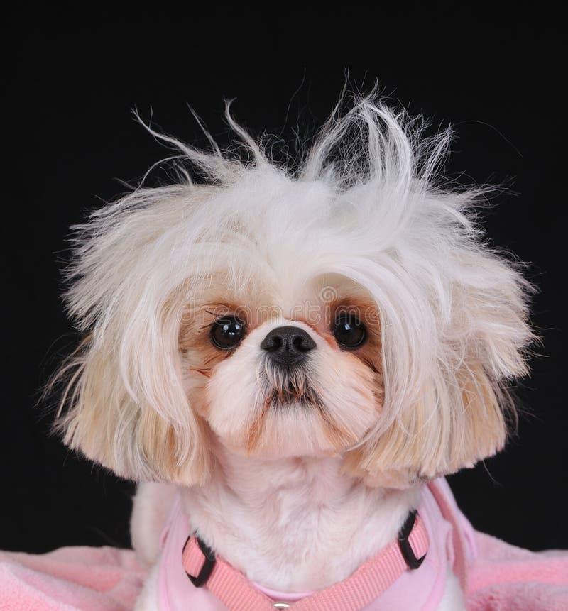 Dag van het Haar van de Hond van Tzu van Shih de Slechte royalty-vrije stock foto's