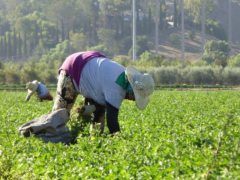 Dagarbetare i fälten av Carpinteria i Ventura County, Kalifornien royaltyfri fotografi