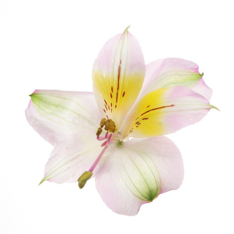 dagblomma lilly royaltyfri fotografi
