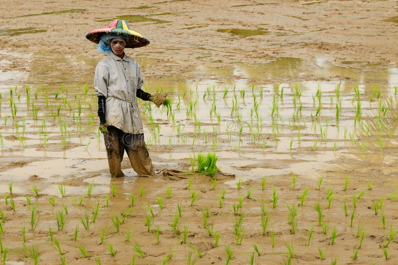Dagelijks levend in Indonesië, Rijstarbeiders royalty-vrije stock afbeelding