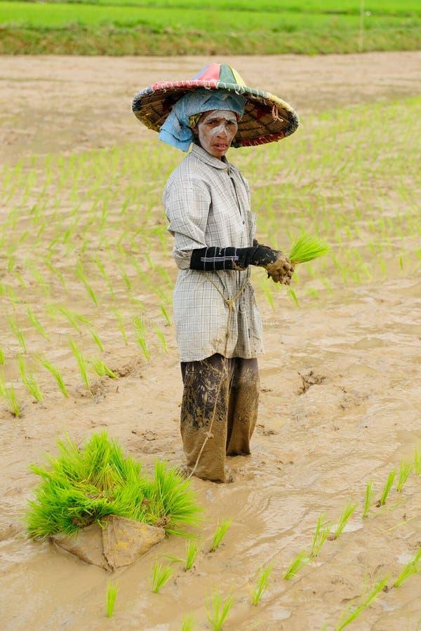 Dagelijks levend in Indonesië, Rijstarbeiders royalty-vrije stock afbeeldingen