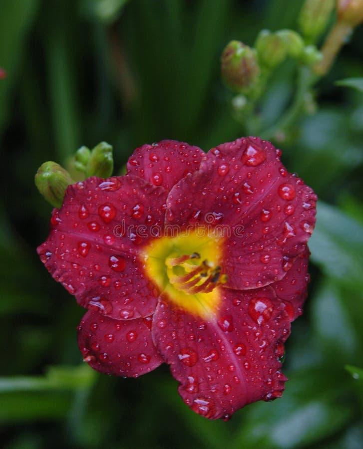 dagen tappar lilly royaltyfria foton