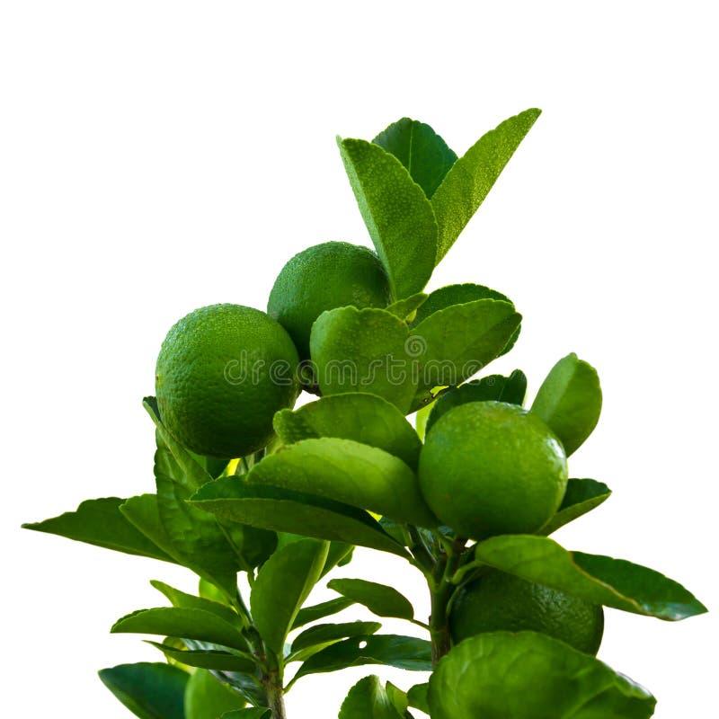 Dagg för isolatlimefruktgräsplan arkivfoton