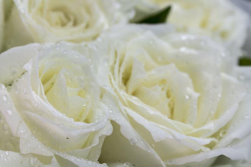 Dagg på kronbladvitros royaltyfria bilder