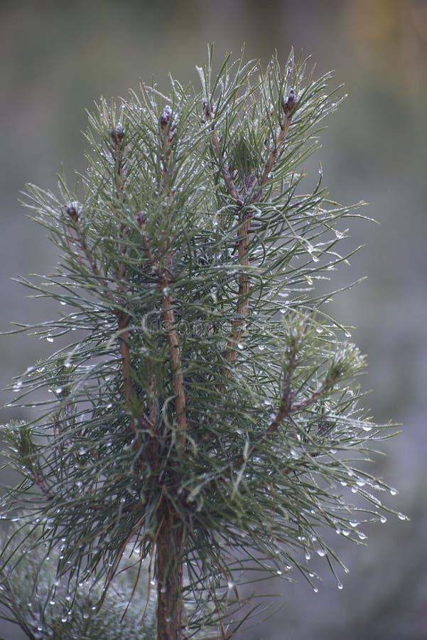 Dagg på trädfilialerna royaltyfria bilder