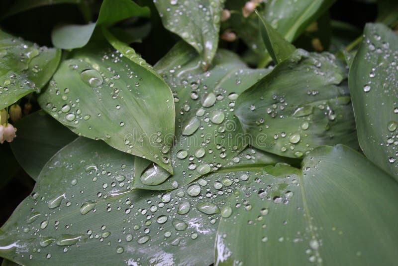 Dagg regndroppar, vattendroppar på sidorna av den gemensamma liljan för Convallariamayalis av walleyen royaltyfria bilder