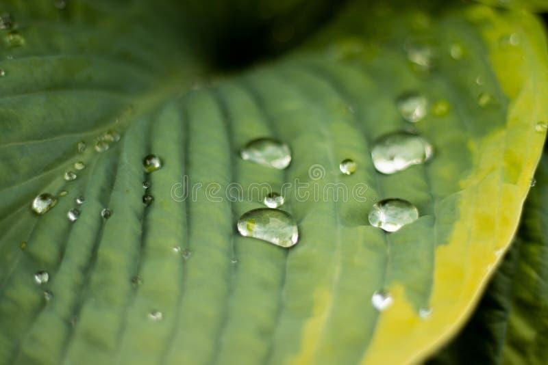 Dagg som fångas i makro på ett grönt blad royaltyfria foton