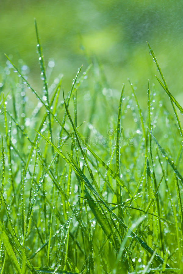 daggdroppar gräs den gröna fjädern arkivbilder