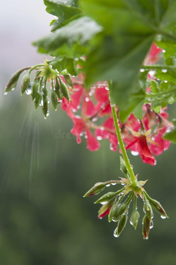 Daggdroppar på en rosa blomma och gröna knoppar arkivfoto