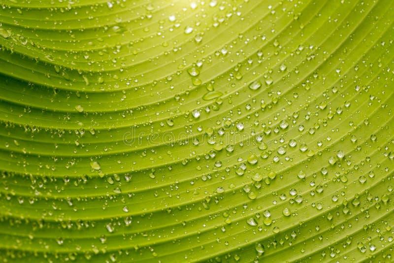 Daggdroppar på ett bananblad arkivfoton