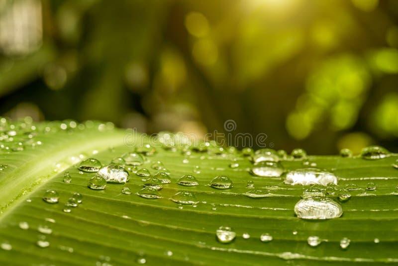 Daggdroppar på ett bananblad arkivbilder