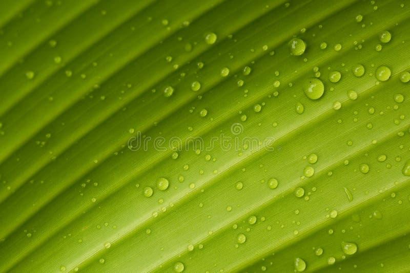 Daggdroppar på ett bananblad arkivfoto