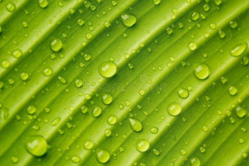 Daggdroppar på ett bananblad fotografering för bildbyråer