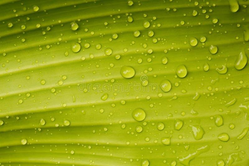 Daggdroppar på ett bananblad arkivbild