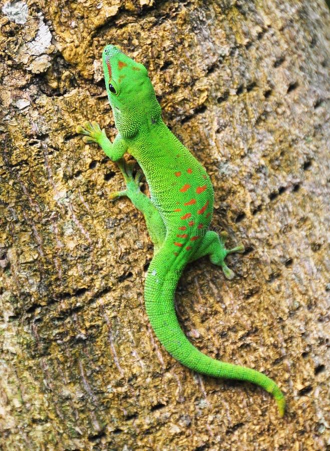 daggecko madagascar royaltyfri foto