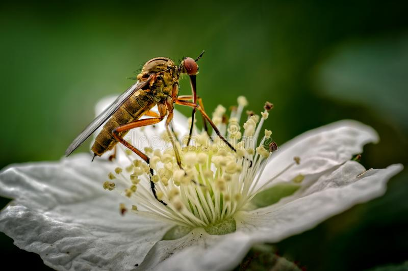 The Dagger Fly seen here is Empis opaca nectaring feeding on a dewberry flower. These flies are common throughout Europe except royalty free stock photography