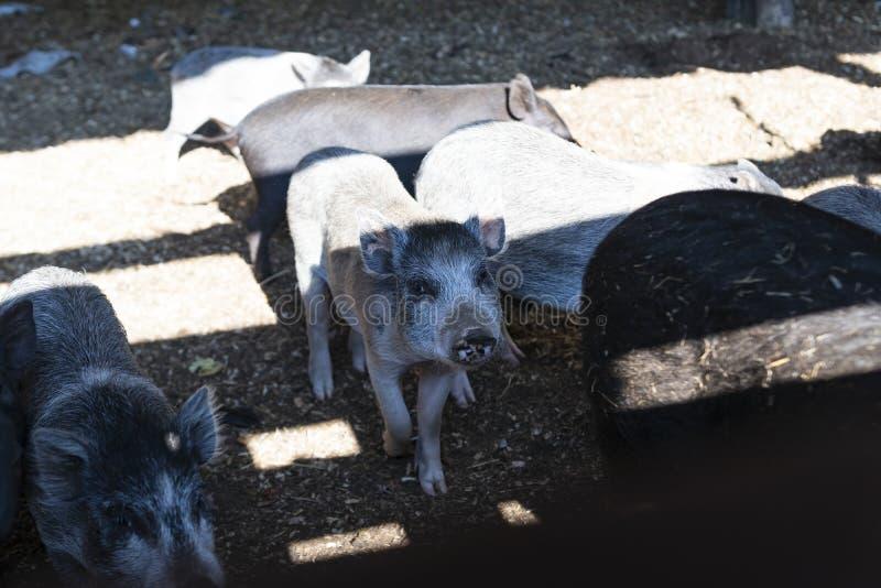 Dagsljus Jordbruk det unga svinet ser oss i kameran Grunt djup av snittet royaltyfria foton