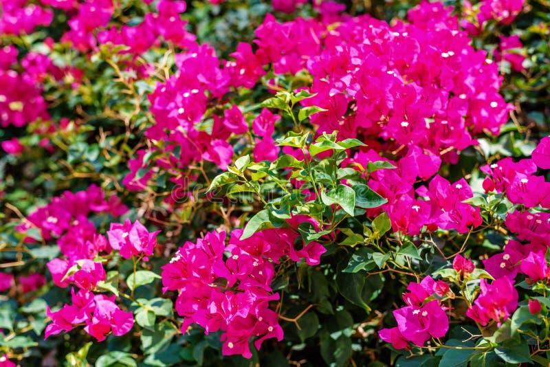 Dagsljussikten till solen som skiner på färgrik bougainvillea, blommar royaltyfria foton